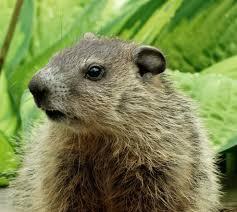 Groundhog Removal Service